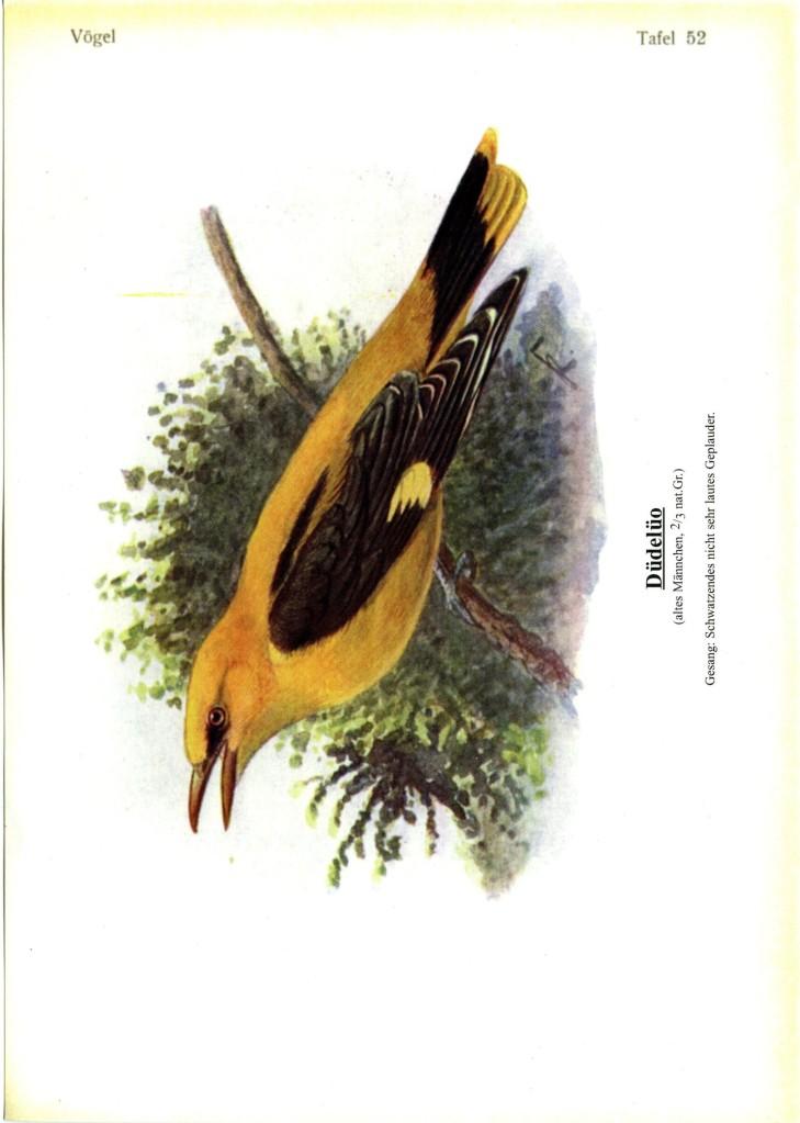 singvögel 52
